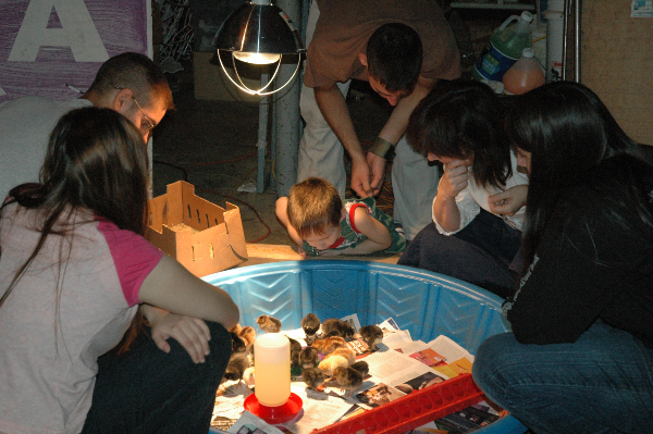 This was one of our first flocks.  Here I am with five of my children gazing at the day old chicks in our garage.  Notice the heat lamp, the box they were shipped in, the feeder and the waterer filled with a special hydration blend with extra vitamins.  You can learn so many lessons from chicks.